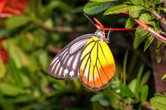 Painted Jezebel Butterfly (Delias hyparete indica) Stock Images