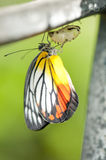Painted Jezebel Butterfly. Emerged from pupa Stock Photos