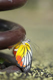 Painted Jezebel butterfly. Emerged from pupa Stock Image