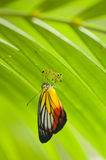 Painted Jezebel Butterfly. Emerged from pupa under leaves Stock Photos