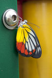 Painted Jezebel. Butterfly rests on a green pillar Stock Photo