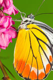 Painted Jezebel butterfly Royalty Free Stock Photography