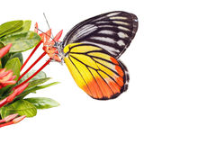 Painted  Jezebel (Delias hyparete indica) Butterfly Stock Image