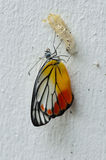 Painted Jezebel emerged from its pupa. Painted Jezebel butterfly emerged from its pupa on the wall Stock Photos