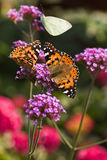 Painted ladies butterflies on. Painted Lady and Small White butterflies feeding on Verbena flowers in summer Stock Photo