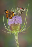 Painted ladies on teasal Stock Image