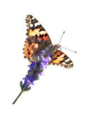 Painted Lady. Butterfly (vanessa cardui) sitting on a single lavender flower Royalty Free Stock Photo