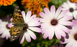 Painted Lady Insect Butterfly Outdoor Flower Garde Stock Photography