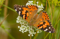 Painted Lady Royalty Free Stock Photography