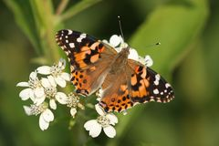 Painted Lady Stock Images