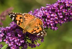 Painted Lady on Budleya. Painted Lady getting nectar from Budleya Royalty Free Stock Photo