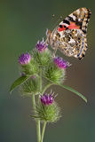 Painted Lady on burdock Royalty Free Stock Photos
