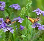Painted Lady Butterflies. Two Painted Lady butterflies in a field of wild verbena Royalty Free Stock Photos