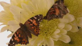 2 Painted lady butterflies on white chrysanths. A newly emerged painted lady butterfly vanessa cardui shivering to warm its body, whilst another leaves stock footage