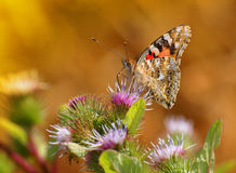 Painted Lady Butterfly. Feeding on nectar Royalty Free Stock Image