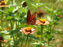 Painted Lady Butterfly. On Zinnia royalty free stock photos