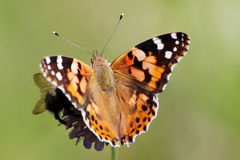 Free Painted Lady Butterfly Stock Photography - 17811372