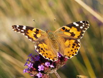 Painted Lady Butterfly. The Painted Lady may be the most widespread butterfly in the world. It also known as the thistle butterfly and the cosmopolitan (because royalty free stock image
