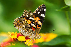 Free Painted Lady Butterfly Royalty Free Stock Image - 46491056