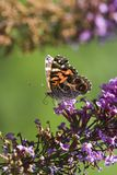 Painted Lady Butterfly. With his Proboscis Extended Royalty Free Stock Images