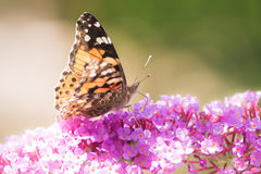 Free Painted Lady Butterfly Stock Image - 84715061
