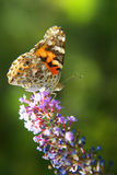 Painted Lady Butterfly. Butterfly close up on flower with soft green background Stock Image
