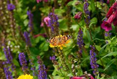 Painted Lady butterfly amongst garden flowers Stock Image