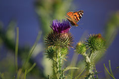 Painted Lady Butterfly. A beautiful butterfly sips nectar from a thistle flower Royalty Free Stock Photos