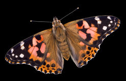 Painted Lady Butterfly on black. A painted lady butterfly has its wings open on a black background Stock Photography