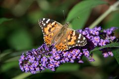 Painted lady butterfly on blooming purple butterfly bush Royalty Free Stock Image