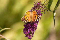 Painted Lady Butterfly on Buddleia Royalty Free Stock Photos
