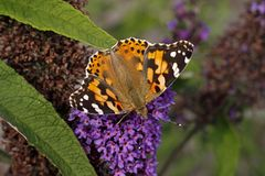 Painted Lady butterfly on Buddleja davidii stock photo