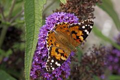 Painted Lady butterfly on Buddleja davidii Royalty Free Stock Image