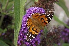 Painted Lady butterfly on Buddleja davidii royalty free stock image