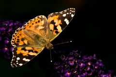 Painted lady on butterfly bush Stock Images