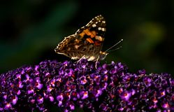 Painted lady on butterfly bush in summer Stock Images