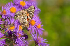 Painted Lady Butterfly. Collecting nectar from Purple Aster flowers Stock Photo