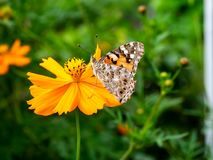Painted Lady Butterfly on a Cosmos Flower 1. A painted lady butterfly rests on an orange cosmos flower along a field in central Kanagawa Prefecture, Japan stock images