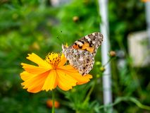 Painted Lady Butterfly on a Cosmos Flower 3. A painted lady butterfly rests on an orange cosmos flower along a field in central Kanagawa Prefecture, Japan stock photography