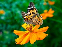 Painted Lady Butterfly on a Cosmos Flower 5. A painted lady butterfly rests on an orange cosmos flower along a field in central Kanagawa Prefecture, Japan royalty free stock photos