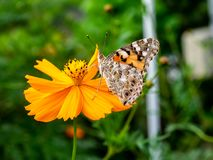 Painted Lady Butterfly on a Cosmos Flower 2. A painted lady butterfly rests on an orange cosmos flower along a field in central Kanagawa Prefecture, Japan stock photography