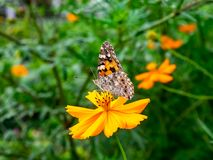 Painted Lady Butterfly on a Cosmos Flower 4. A painted lady butterfly rests on an orange cosmos flower along a field in central Kanagawa Prefecture, Japan royalty free stock photo