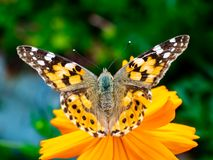 Painted Lady Butterfly on a Cosmos Flower 7. A painted lady butterfly rests on an orange cosmos flower along a field in central Kanagawa Prefecture, Japan stock photography