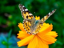 Painted Lady Butterfly on a Cosmos Flower 8. A painted lady butterfly rests on an orange cosmos flower along a field in central Kanagawa Prefecture, Japan royalty free stock image