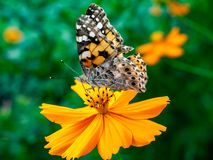 Painted Lady Butterfly on a Cosmos Flower 6. A painted lady butterfly rests on an orange cosmos flower along a field in central Kanagawa Prefecture, Japan stock photos