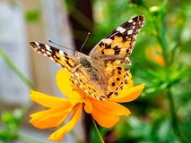 Painted Lady Butterfly on a Cosmos Flower 9. A painted lady butterfly rests on an orange cosmos flower along a field in central Kanagawa Prefecture, Japan stock photo
