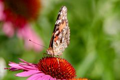 Painted Lady Butterfly facing you sitting on the center of a pink coneflower in the sunlight Stock Image