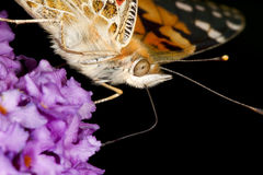 Painted Lady butterfly. Royalty Free Stock Photo