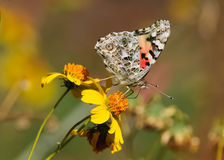 Painted Lady Butterfly feeding Stock Photography