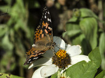 Painted lady butterfly Stock Images